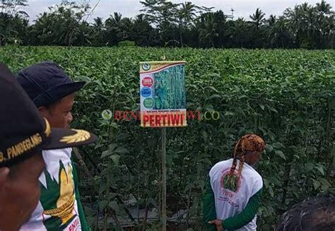 Benih Kacang Panjang Pertiwi kacang pertiwi banten2 copy benih pertiwi