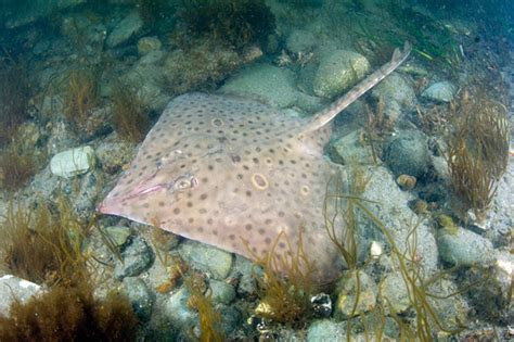 Barn Door Skate Barndoor Skate Pictures Images Of Dipturus Laevis