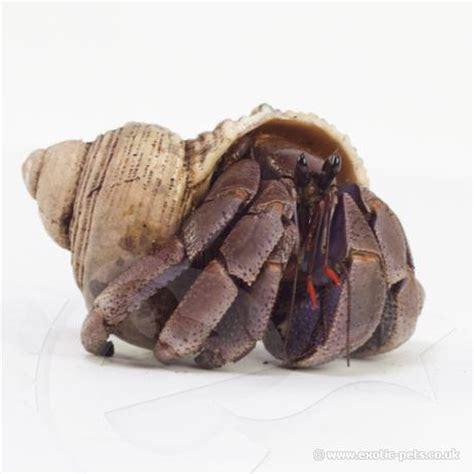 hermit crab heat l viola hermit crabs coenobita violascens