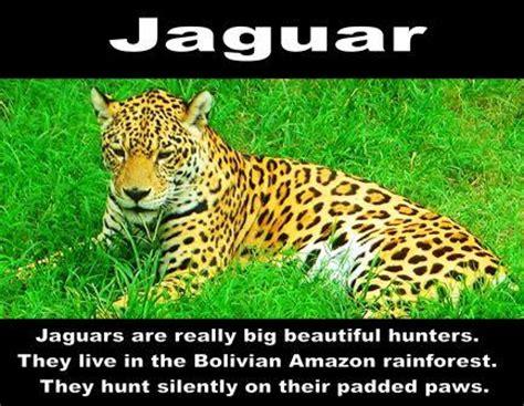 rainforest jaguar facts rainforest animals facts driverlayer search engine