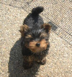 yorkie bows for sale 1000 ideas about teacup yorkies for sale on teacup yorkie terrier dogs