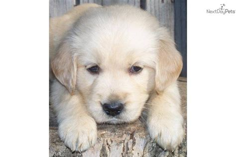 golden retriever puppies new york meet golden a golden retriever puppy for sale for 800 golden