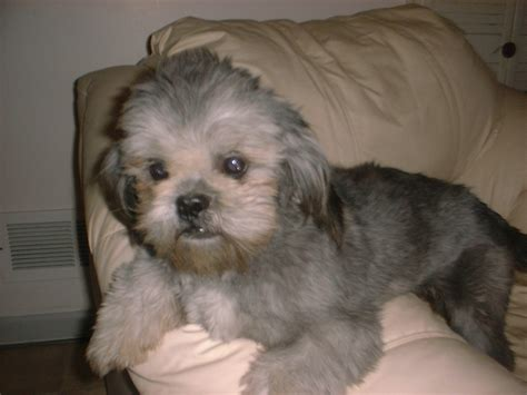 shih tzu blue shih tzu puppy breeder for sale