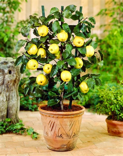 how to grow a fruit tree growing apple trees in pots how to grow apple tree in a