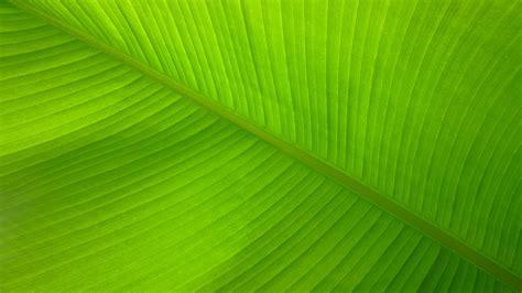 download wallpaper daun free photo banana leaf lines fibers pattern free