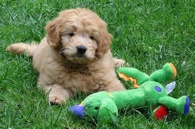 golden retriever miniature poodle miniature goldendoodle breed information and pictures