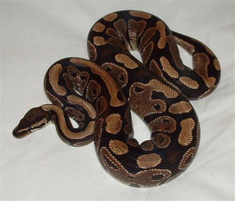 sleep python woman sleeps with python every night then he stops eating