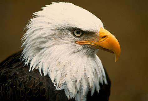Aquila Hitam jenis dan klasifikasi burung elang di indonesia dunia elang