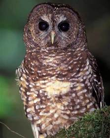 spotted owl audubon field guide