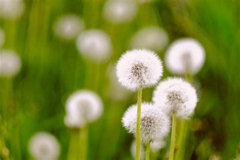 wallpaper dandelion flowers hd  flowers