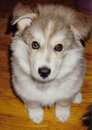 wolf malamute puppies wolamute breed information and pictures