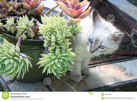 cat and succulents stock photo image 54855000