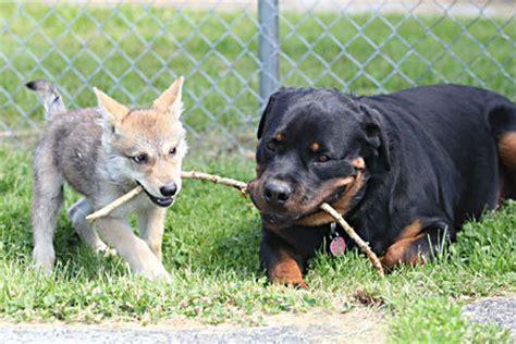 8 week rottweiler rottweiler adopts abandoned 8 week wolf baby teddybear64 photo 18434609 fanpop