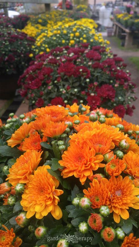 keep your fall flowers blooming all season with this