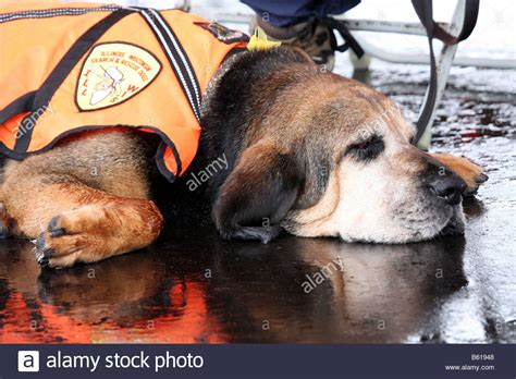 Wisconsin Search Free A Illinois And Wisconsin Search And Rescue Bloodhound Laying Stock Photo