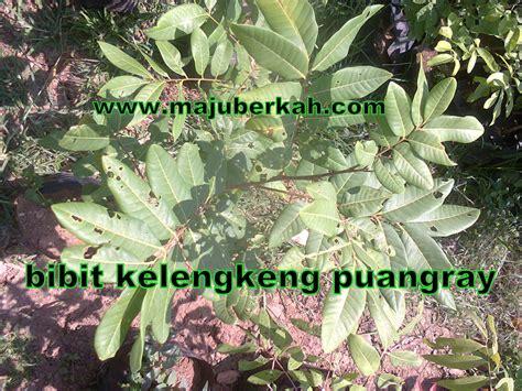 Bibit Kelengkeng Puangray bibit kelengkeng puang bibit tanaman kelengkeng puang