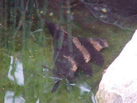 Bottom Feeder Fish For Ponds fish