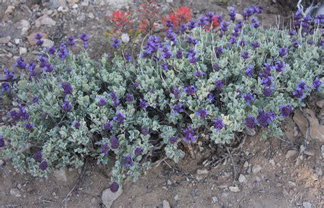 purple sage   plants garden supplies
