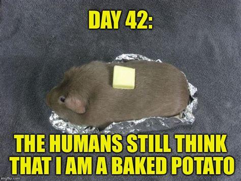Funny Potato Memes - baked potato guinea pig imgflip