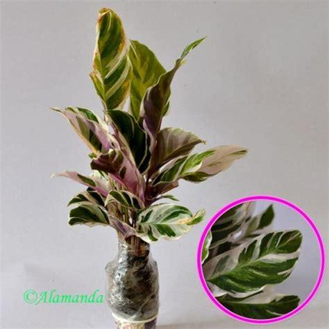 jual tanaman calathea saputangan hp 085608566034