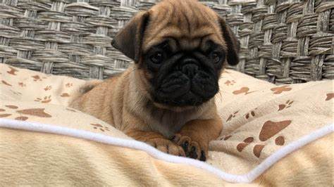apricot pug puppies for sale apricot pug puppies folkestone kent pets4homes