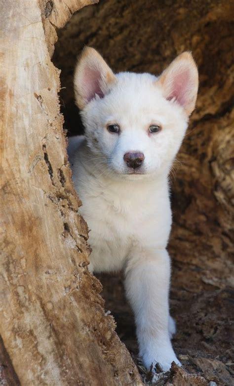 dingo puppy dingo zooborns