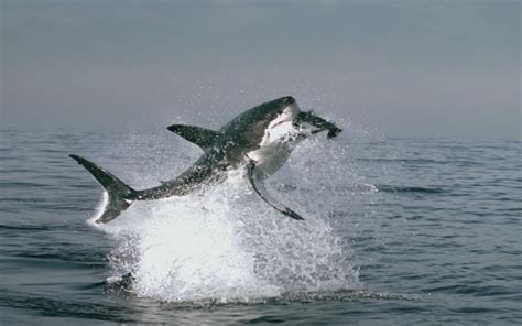 great white shark animal wildlife
