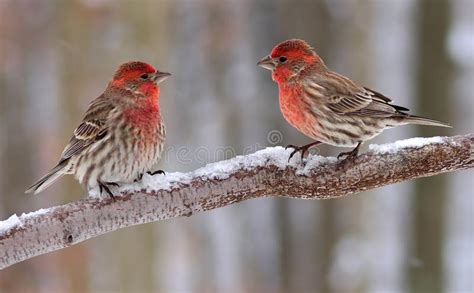 sound of a house finch house finch males stock photo image of house winter