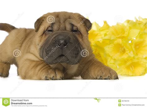 free shar pei puppies shar pei puppy royalty free stock images image 25730419
