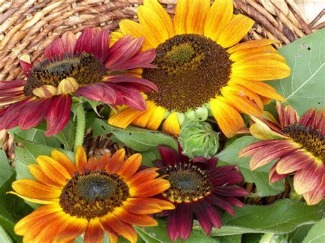 evening sun sunflower   southern exposure seed