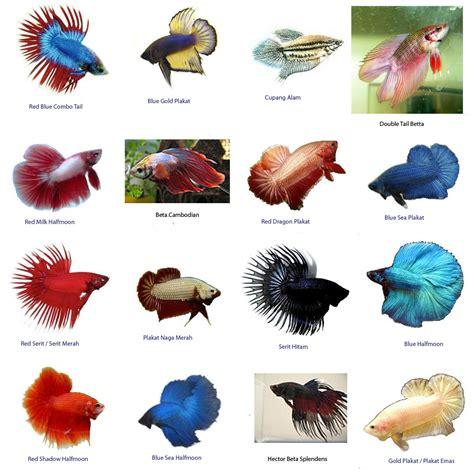 Pakan Ikan Cupan Hias macam jenis ikan cupang bibitikan net