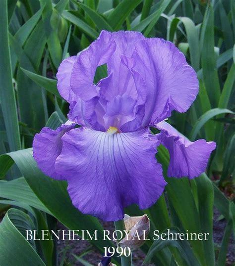 bearded iris bearded iris quot blenheim royal quot heritage irises