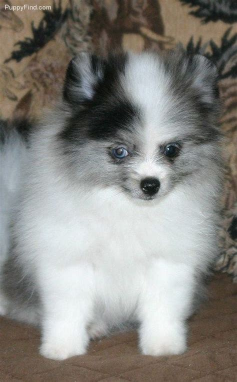 blue teacup pomeranian 25 best ideas about blue merle on baby dogs mini aussie shepherd