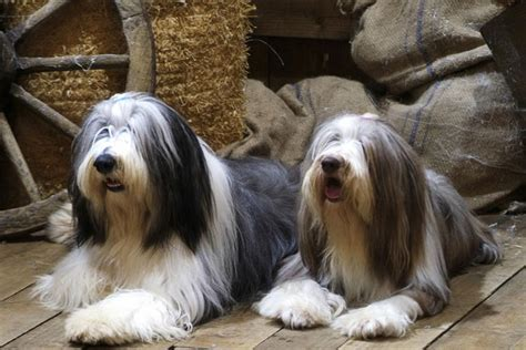bearded collie puppies bearded collie puppies for sale from reputable breeders
