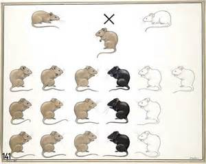 what color are mice vintage genetics mouse coat color mendelian genetics