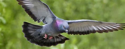 uccelli non volanti perch 233 i piccoli piccioni non si vedono mai animali volanti