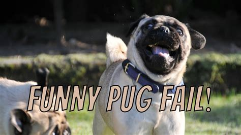 pug running up stairs one pug hops up stairs other pug barrels up pug