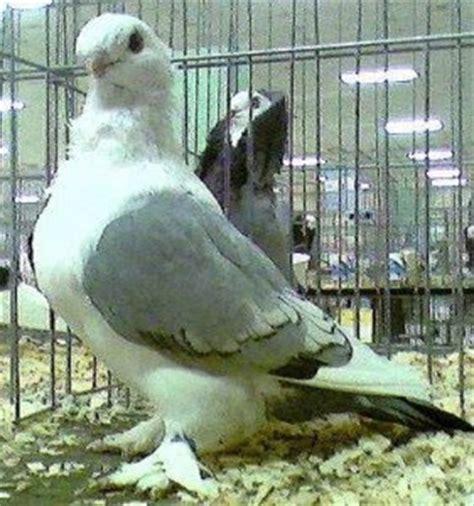 koleksi gambar burung merpati hias koleksi foto dan gambar