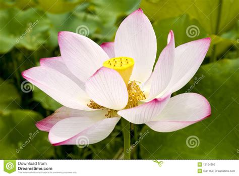 pink lotus stamen lotus flower stock photo image 15104360