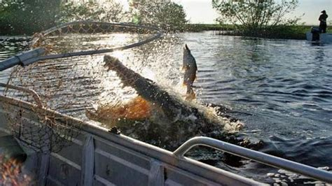 private boat r near me crocodile chases barramundi and almost lands in boat at nt