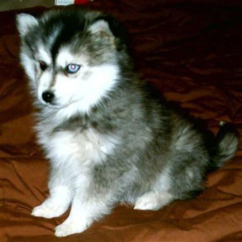 mini husky puppies for sale miniature siberian husky puppies for sale breeds picture