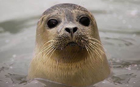 Sea Ls by Seals Awesome Animals