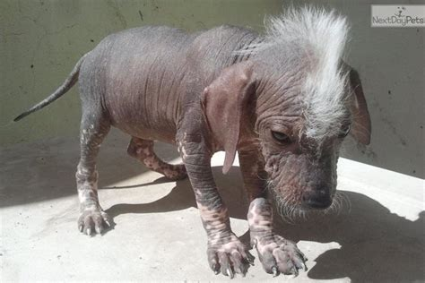 xoloitzcuintli puppies xoloitzcuintli puppy for sale near el paso 6ef1d4c2 a9e1