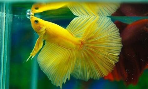 Betta Fish Hm Top 35 Beautiful Types Of Betta Fish With Amazing Pictures