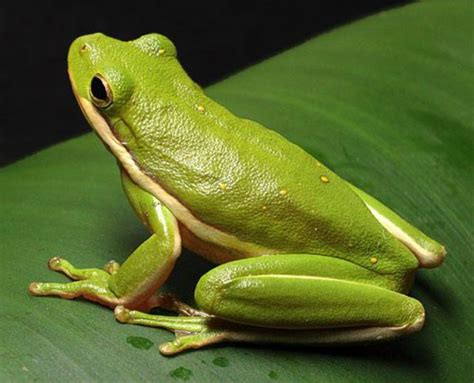imagenes de ranitas verdes la alopecia de la rana verde la alopecia de la rana verde
