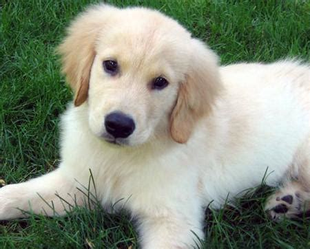 3 week golden retriever puppies golden retriever puppy 8 weeks to 10 months 3milliondogs