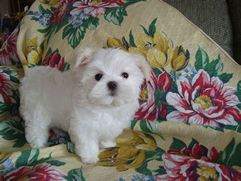 half yorkie half maltese for sale 111 best images about adorable designer breeds on poodles yorkie and