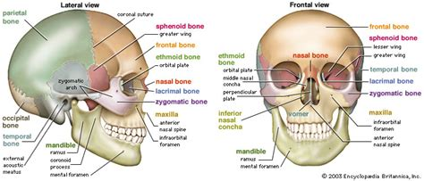 skull bone diagram faith anatomy the skull