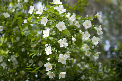 Kitchen Design Canberra Mock Orange Shrubs Growing And Care Guide