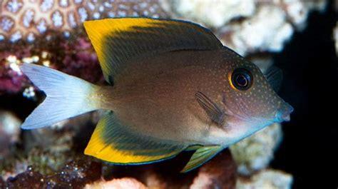 Tangs Gift Card - buy bristletooth tomini tang saltwater fish sale vivid aquariums
